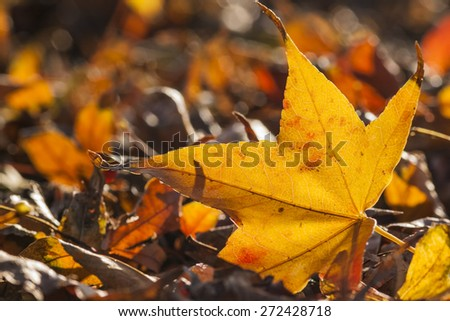 Yellow maple leaf for adv or others purpose use - stock photo