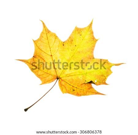 Yellow maple leaf isolated on the white background. Seasonal autumn theme. - stock photo