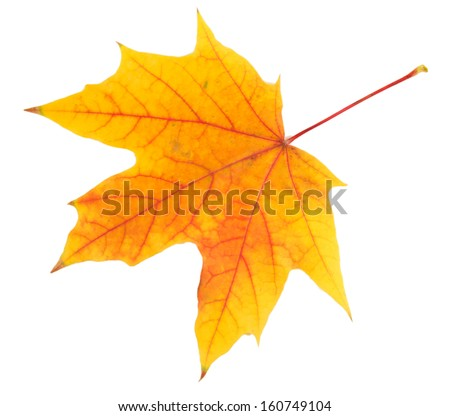 Yellow maple leaf isolated on white - stock photo