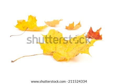 yellow maple leaf isolated on white background - stock photo