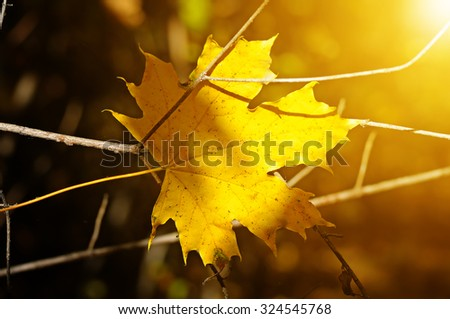yellow maple leaf on blurred background - stock photo