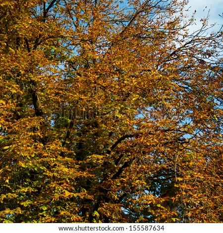 Yellow maple leave on tree - stock photo