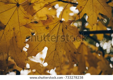 Yellow maple leaves on a tree