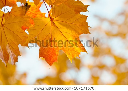 Yellow maple leaves on a twig in autumn. - stock photo