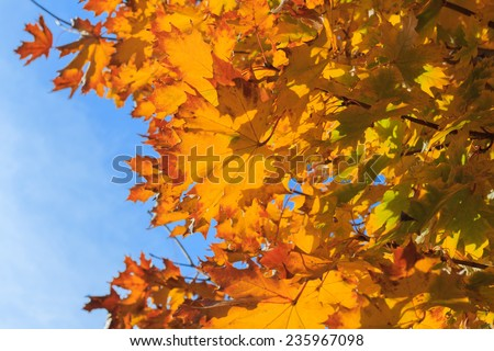 Yellow maple leaves on a twig in autumn - stock photo