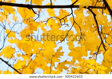 Yellow maple leaves on a twig in autumn.