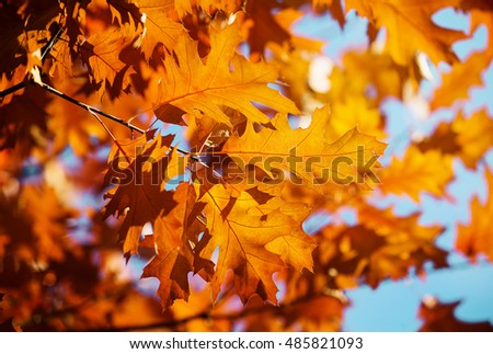 Yellow maple leaves on a twig in autumn