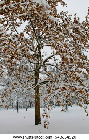Yellow maple tree covered with snow in park