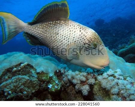 Yellow-margin triggerfish (Pseudobalistes flavimarginatus) - stock photo