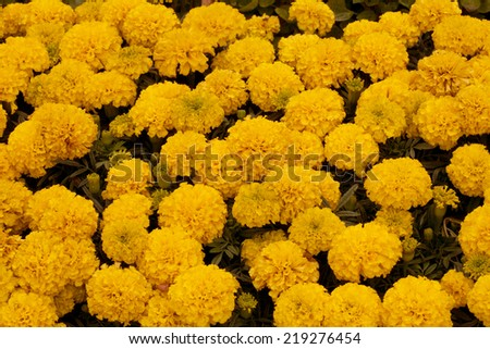 yellow marigold - stock photo