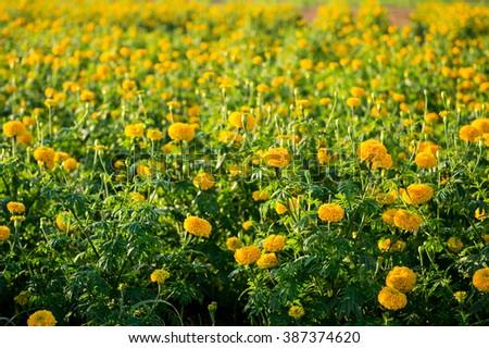 Yellow marigold flower farm - stock photo