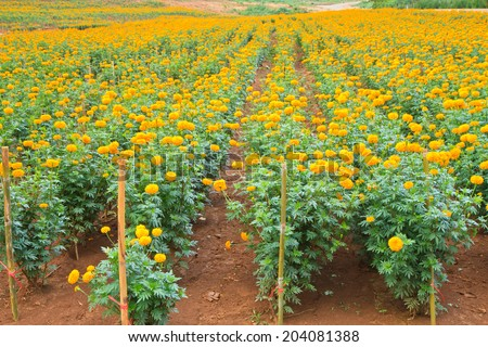 Yellow Marigold Flowers in field - stock photo