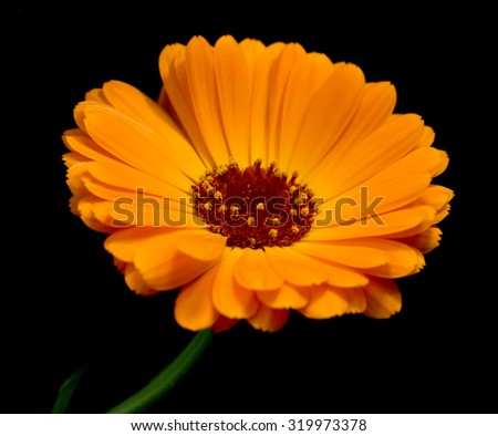 yellow marigold flowers on a black background - stock photo