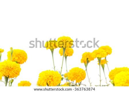 Yellow marigold flowers on plant isolated on white background - stock photo