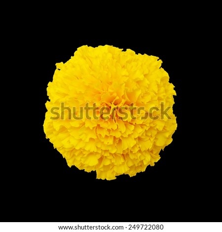 Yellow marigold with isolated on a black background - stock photo
