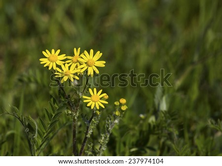 Yellow meadow flower  - stock photo