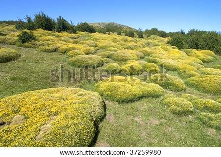 yellow meadow in Pyrenees mountains