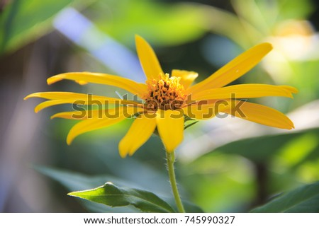 Yellow Mexican sunflower blooming like sunflower with natural background.