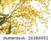 Yellow mimosa branch in bloom against white - stock photo