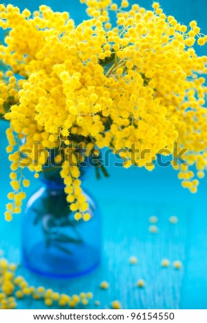 yellow mimosa on the blue background - stock photo