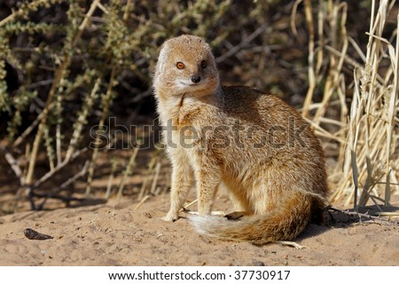 Yellow mongoose in the Kalahari desert
