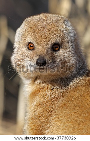 Yellow mongoose potrait