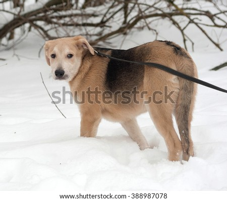 Yellow mongrel puppy standing on white snow