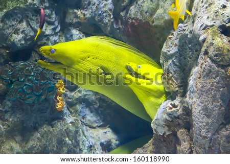 yellow  moray fish in coral reef close-up - stock photo