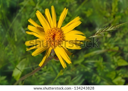 yellow mountain flower,Arnica montana L. - stock photo