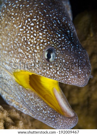 yellow mouth moray eel portrait