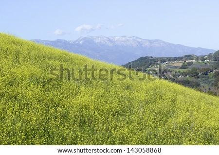 Yellow mustard plant grows in green spring field near Lake Casitas with Topa Topa Mountains in view in Ventura County near Ojai, California - stock photo