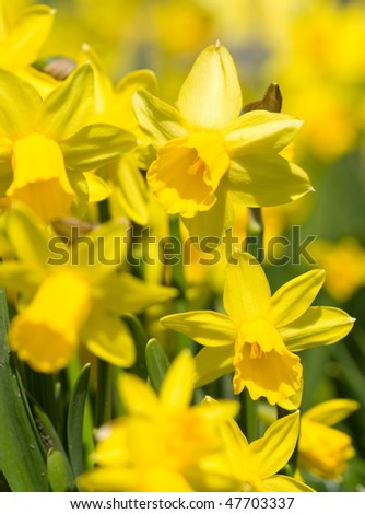 yellow narcissus - stock photo