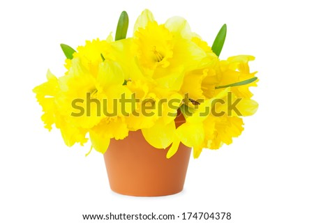 Yellow Narcissus / Daffodils / in Flower Pot / isolated on white