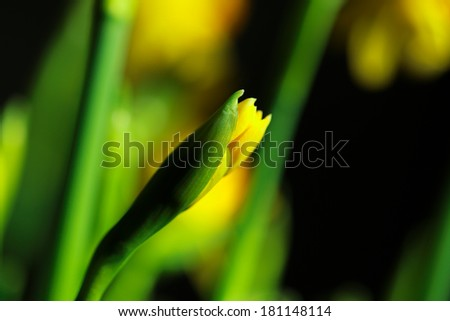 Yellow narcissus flower or daffodil in a closeup view - stock photo