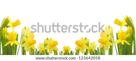 Yellow narcissus flowers. - stock photo