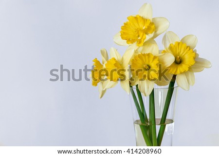 Yellow narcissus on blue background.