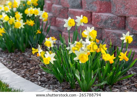 Yellow narcissus photographed in early spring - stock photo
