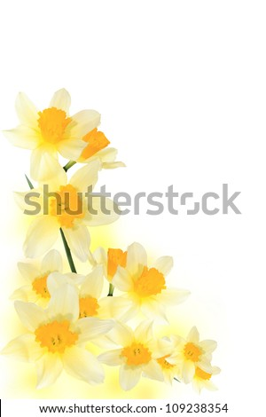 Yellow narcissuses on a white background - stock photo