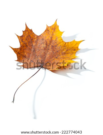 Yellow old maple leaf isolated on white background