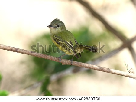 Yellow-olive Flycatcher on a tree branch inside the forests of Panama - stock photo