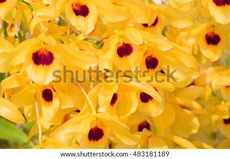 Yellow gold asian orchid flowers red stock photo royalty free yellow or gold asian orchid flowers with red pollen name dendrobium lindleyi steud or honey fragrant mightylinksfo