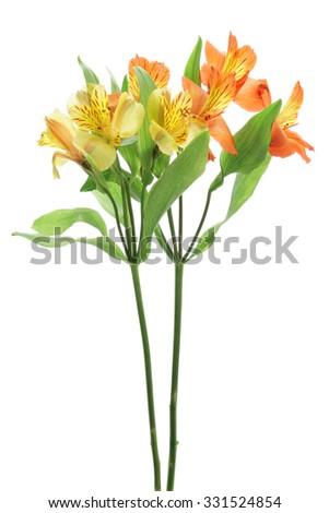 Yellow orange alstroemeria isolated on white background - stock photo