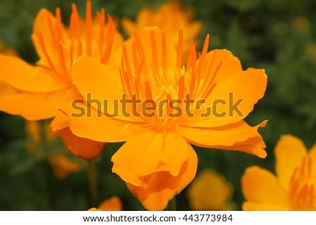 "Yellow-orange ""Asian Globeflower"" (or only Globe Flower) in St. Gallen, Switzerland. Its Latin name is Trollius Asiaticus, native to Northeastern Russia, Siberia and Turkestan."