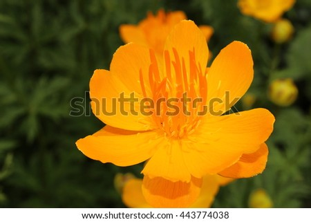 Yelloworange asian globeflower or only globe stock photo 443774224 yellow orange asian globeflower or only globe flower in st mightylinksfo