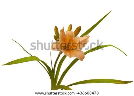 Yellow-orange Bali Hai hemerocallis  on a white background  isolated - stock photo
