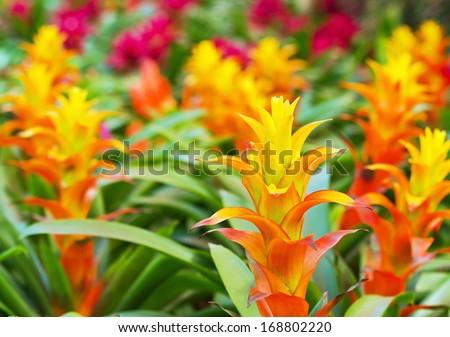 Yellow Orange bromeliad rosette shape flowers in bloom in springtime (Aechmea fasciata, Bromeliaceae) - stock photo