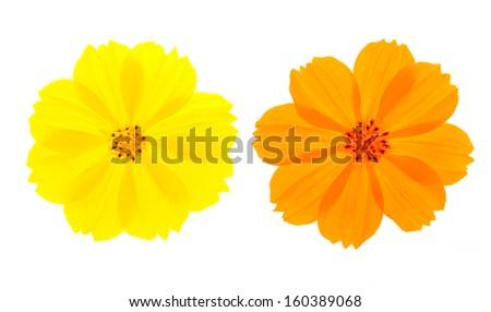 Yellow&Orange flower ( Cosmos flower ) on white background - stock photo