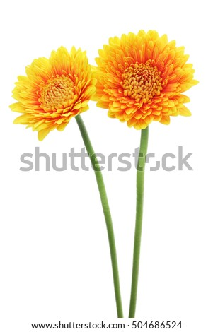 Yellow orange gerbera daisies isolated on white background