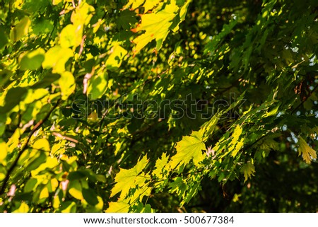 Yellow, orange, golden, green forest leaves or leaf. Nature in autumn. Tree in fall season. Outdoor background with bright natural beautiful color park. Vibrant foliage.