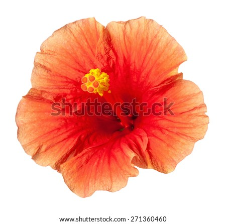 Yellow Orange Hibiscus Tropical Flower Isolated on White Background - stock photo
